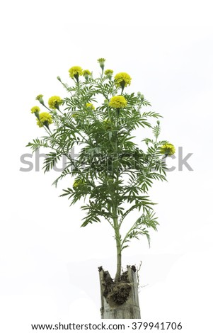 Isolate beautiful yellow marigold plant on bamboo tube. - stock photo