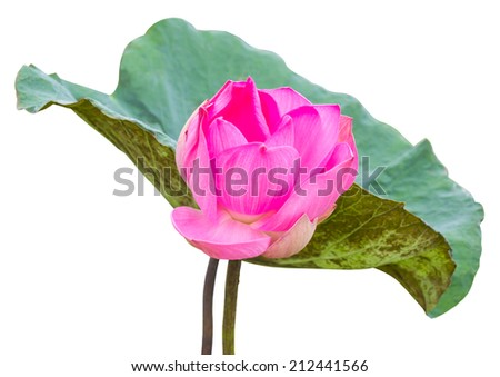 Isolate large pink lotus flowers and leaves it with dirt  - stock photo