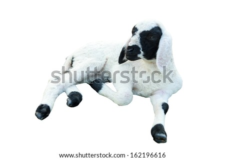 Isolate Little Lamb lie down  - stock photo