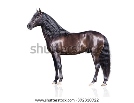 isolate of the exterior brown Andalusian horse on the white background - stock photo