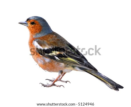 Isolated a Chaffinch
