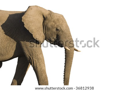 Isolated African Elephant (loxodonta africana) - stock photo