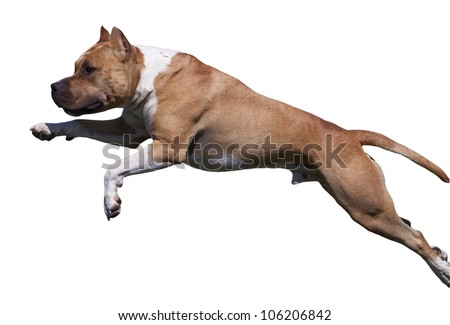 Isolated American Staffordshire Terrier dog jumping - stock photo