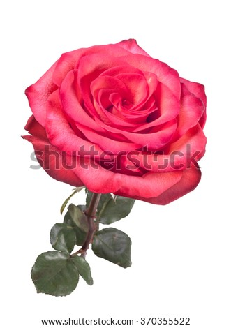 Isolated beautiful red rouse on the white background - stock photo