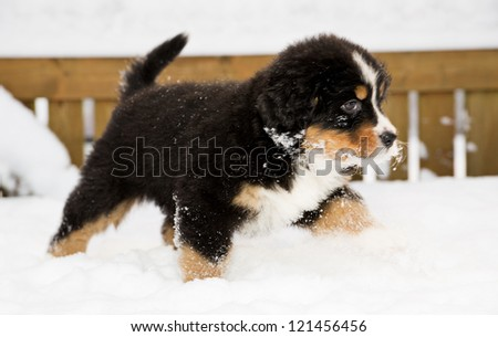 Isolated bernese mountain dog puppet run through snow - stock photo
