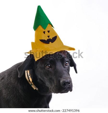Isolated black labrador retriever (Halloween edition) - stock photo