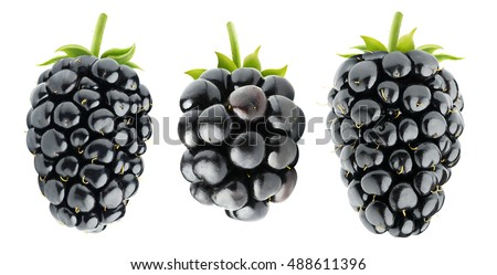 Isolated blackberries. Three various blackberry fruits isolated on white background with clipping path