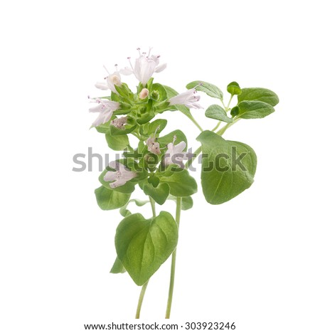 Isolated blooming branch of a oregano with flowers on the white background