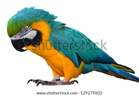 Isolated Blue and Yellow Macaw