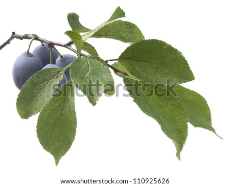Isolated branch of plum with leaves and fruits