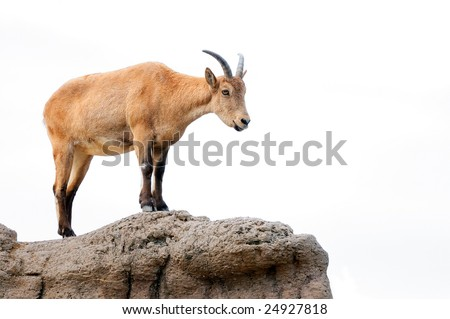 Isolated brown mountain goat surveying her territory - stock photo