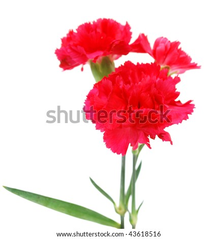 isolated bunch of red carnation