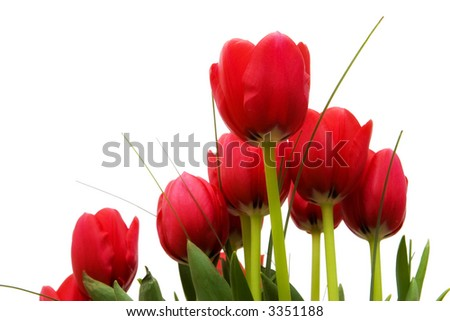 isolated bunch of red tulips - stock photo