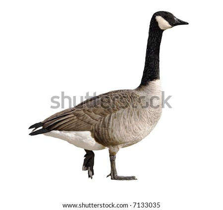 Isolated canada goose on a white background - stock photo