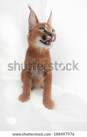 Isolated caracal looking up. - stock photo