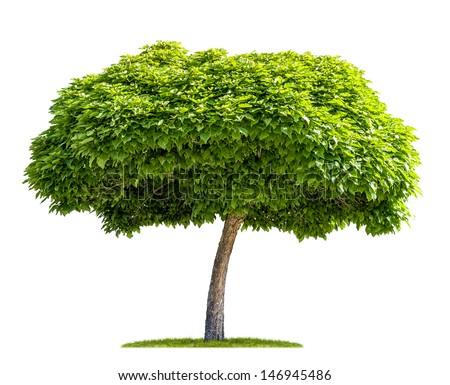 isolated catalpa tree on a white background - stock photo