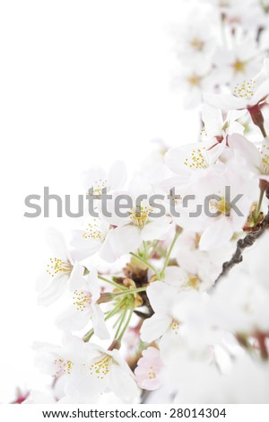 isolated cherry blossom on white background - stock photo