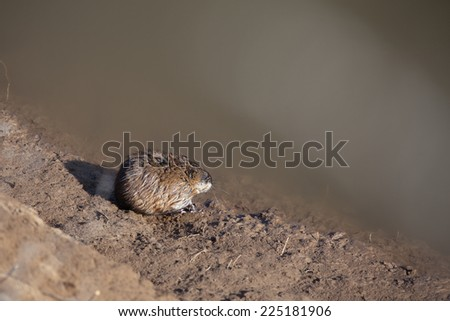 isolated close-up vole-mouse on the background of the land in the spring  - stock photo