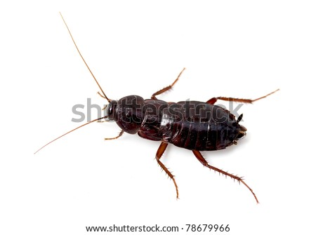 Isolated cockroach on white background - stock photo