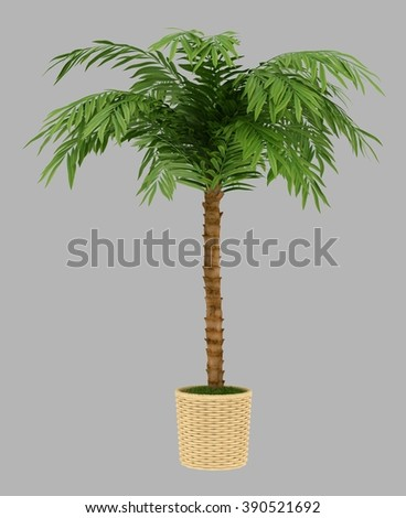 isolated 3d rendered bonsai palm with alpha channel
