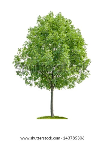 isolated deciduous tree on a white background - stock photo