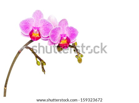 Isolated Doritaenopsis orchid