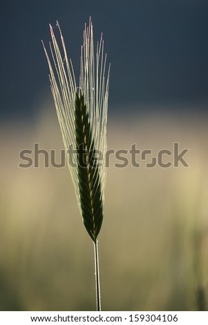 Isolated ear of ripe barley against early sunrise backlight (shallow DOF - selective focus) - stock photo