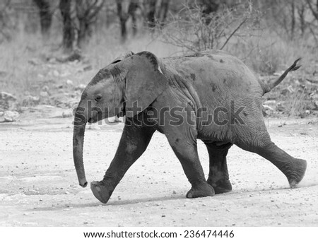 Isolated elephant calf running on the track - stock photo