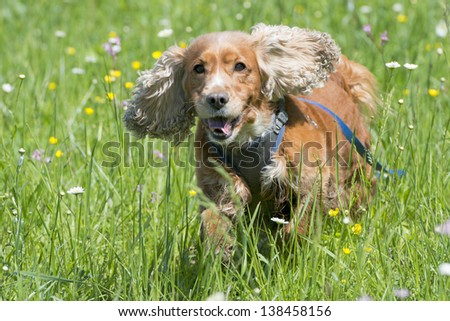 Isolated english cocker spaniel on the grass background - stock photo