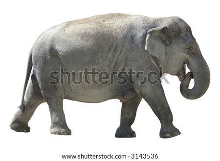 Isolated female african elephant on white background.
