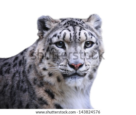 isolated female of snow leopard on white background - stock photo