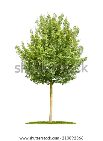 isolated field maple tree on a white background - stock photo