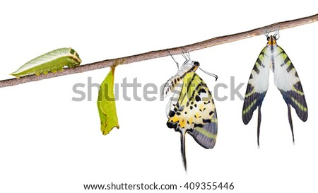 Isolated five bar swordtail butterfly life cycle with clipping path (antiphates pompilius) - stock photo