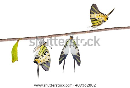 Isolated five bar swordtail butterfly  life cycle with clipping ptah (antiphates pompilius) - stock photo