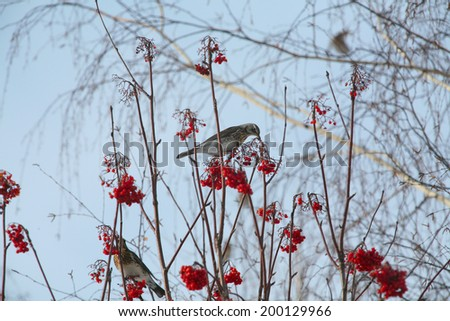 isolated flock of jays on rowan branches on a background of blue sky winter day - stock photo