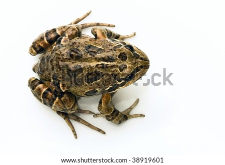 isolated frog - stock photo