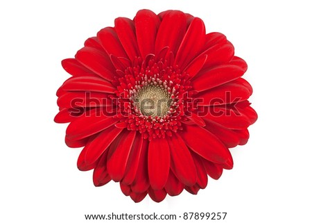 Isolated Gerber Daisy on a white background