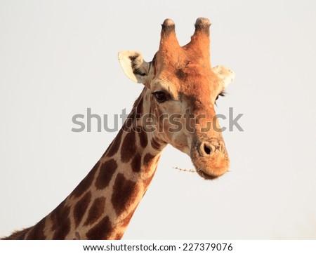 Isolated Giraffe Head - stock photo