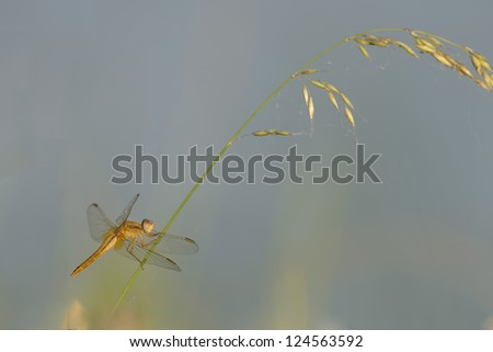 Isolated golden dragonfly in the light blue background