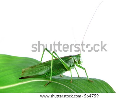 Isolated grasshopper on a leaf - stock photo