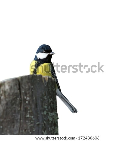 isolated great tit ( parus major )  on stump, white background - stock photo