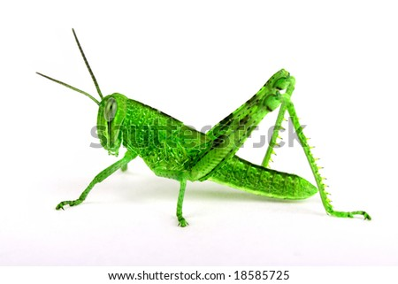 Isolated green grasshopper - stock photo