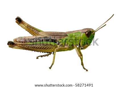 Isolated green grasshopper closeup on white background - stock photo