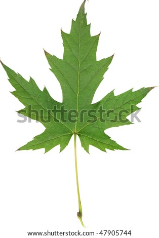 Isolated green maple leaf - stock photo