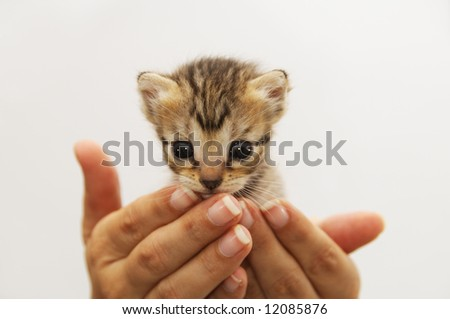 isolated Hands cupping young kitten - animal protection concept - stock photo