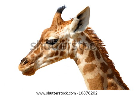 Isolated head of giraffe