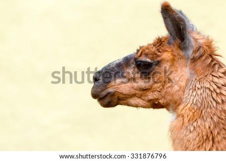 Isolated Headshot Of An Adult Female Lama Glama - stock photo