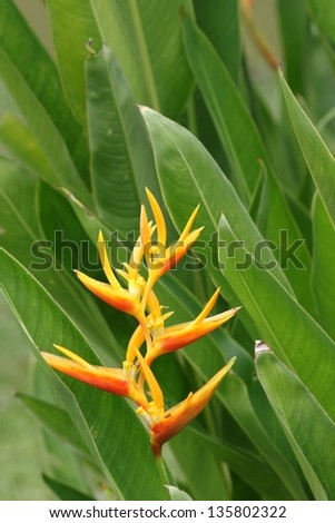Isolated heliconia flower - stock photo