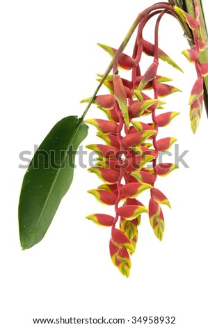 Isolated heliconia flower - stock photo