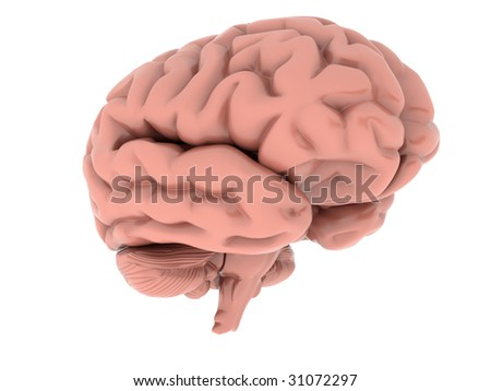 isolated human brain on the white background - stock photo